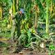 Impulsan a agricultores camagüeyanos a pronta recuperación tras el paso de Irma