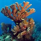 Devastación casi absoluta del coral en Puerto Rico. Edwin A. Hernández Delgado.