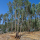 La Luciérnaga 11-04-18. El paraíso eucaliptal