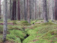 Avsnitt 23 – Granskogsskötsel och värdering