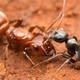 La Brújula de la Ciencia s07e34: La esclavitud en hormigas y su origen evolutivo